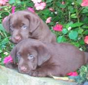 adorable Chocolate Lab puppies