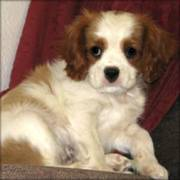 Cavalier King Charles Spaniel Puppies for a caring home