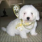 Beatifull Bichon Frise Pupies